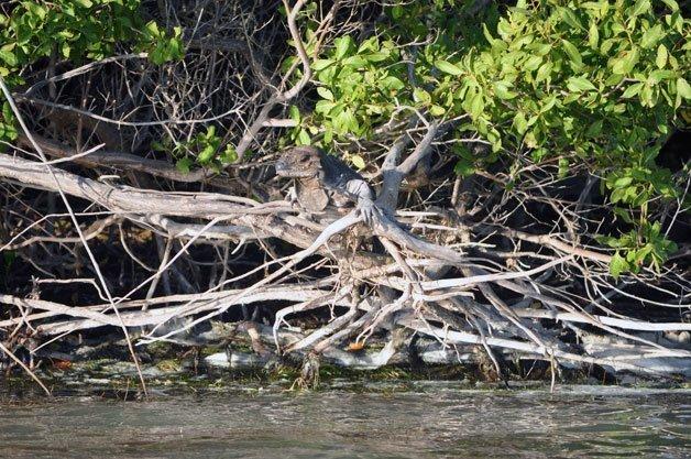 Iguana sobre manglar