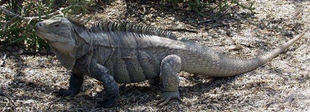 Iguana Ricord